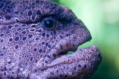 Anguila de Moray Fotos de archivo libres de regalías