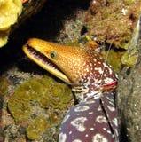 Anguila de Moray fotos de archivo