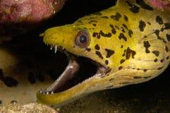 Anguila de Moray Fotografía de archivo