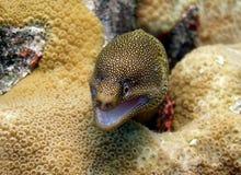 Anguila de Moray de oro de la cola Foto de archivo