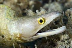 Anguila de Moray de Purplemouth imagen de archivo libre de regalías