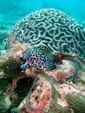 Anguila de Moray en el filón coralino Fotos de archivo