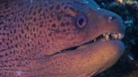 Anguila de Moray en el filón coralino Ciérrese encima de tiro maldives metrajes