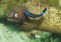 Anguila de moray eyed blanca Fotografía de archivo libre de regalías