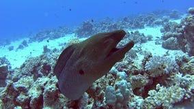 Anguila de moray gigante en el mar tropical en el arrecife de coral almacen de video
