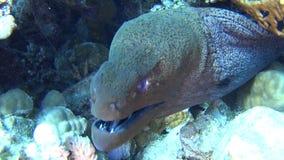 Anguila de moray gigante en el mar tropical en el arrecife de coral metrajes