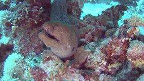 Anguila de moray gigante en el mar tropical en el arrecife de coral almacen de metraje de vídeo