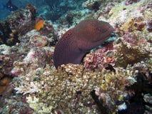 Anguila de moray gigante (Gymnothorax Foto de archivo libre de regalías