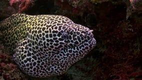Anguila de moray grande de Grey Spotted que se sienta en el filón metrajes