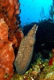 Anguila de moray manchada fotografía de archivo