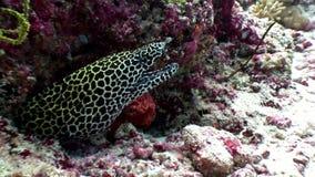 Anguila de moray manchada del leopardo en busca del submarino de la comida en el fondo del mar en Maldivas almacen de metraje de vídeo