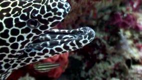 Anguila de moray manchada del leopardo en busca del submarino de la comida en el fondo del mar en Maldivas metrajes