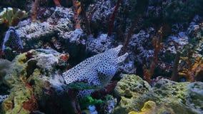 Anguila de moray manchada entre corales duros almacen de video