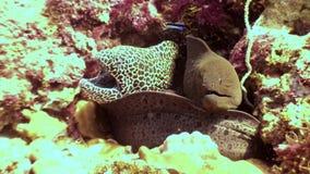 Anguila de moray manchada y su submarino del amigo en el fondo del mar del arrecife de coral en Maldivas almacen de video
