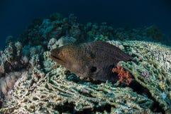 Anguila de Moray, Mar Rojo Fotos de archivo libres de regalías