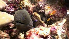 Anguila de Moray negra en busca de la comida subacuática en el fondo del mar en Maldivas almacen de metraje de vídeo