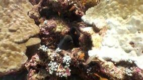 Anguila de Moray negra en busca de la comida subacuática en el fondo del mar en Maldivas almacen de video