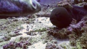 Anguila de Moray negra en busca de la comida subacuática en el fondo del mar en Maldivas metrajes