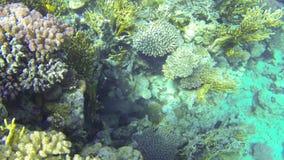 Anguila de moray negra gigante subacuática metrajes