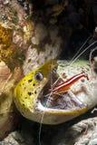 Anguila de Moray y camarón del producto de limpieza de discos foto de archivo