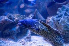 Anguila de Muraena   Fotografía de archivo