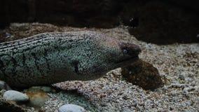 Anguila de Muray bajo zambullida del equipo de submarinismo del agua almacen de video