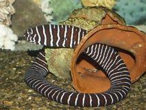 Anguila del agua salada Foto de archivo libre de regalías