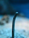 Anguila del jardín Fotos de archivo