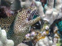 Anguila del morey del arrecife de coral foto de archivo libre de regalías
