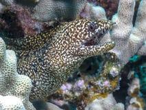 Anguila del morey del arrecife de coral imagenes de archivo