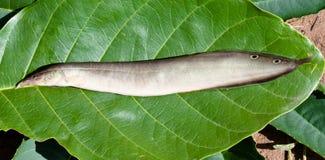 Anguila del pavo real Foto de archivo libre de regalías
