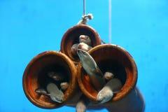 Anguila eléctrica Fotografía de archivo libre de regalías