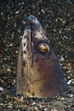 Anguila emergente Imagen de archivo libre de regalías