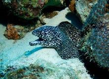 Anguila manchada de Murray Imagen de archivo libre de regalías
