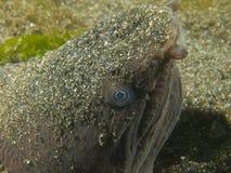Anguila muy fea de la serpiente Fotos de archivo libres de regalías