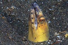 anguila Negro-aletada de la serpiente Imagenes de archivo