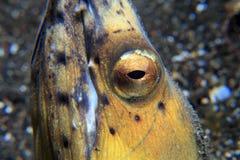 anguila Negro-aletada de la serpiente Fotografía de archivo