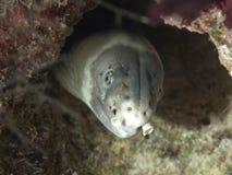anguila Oscuro-llevada a hombros de la serpiente Imagen de archivo