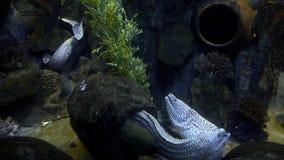Anguilas de moray largas con las bocas abiertas que viven en su cueva y nadada alrededor, moray en el mar, habitantes del arrecif metrajes
