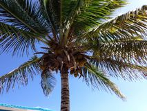 Anguilla Coconut palm Stock Images
