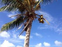 Anguilla Coconut Tree. Sky blue Palm Royalty Free Stock Photography