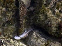 Anguilla contro il polipo immagine stock