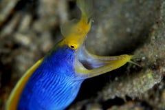 Anguilla del nastro blu Fotografia Stock