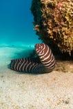 Anguilla della zebra, scogliere di Baja. Immagine Stock Libera da Diritti