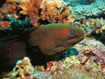 Anguilla di Moray Immagini Stock Libere da Diritti