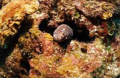 Anguilla di Moray Fotografie Stock Libere da Diritti