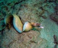 Anguilla di Moray immagine stock libera da diritti