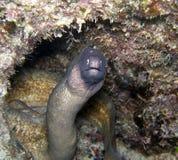 Anguilla di moray bianca dell'occhio con i pesci più puliti del tubo Fotografia Stock Libera da Diritti