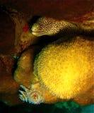 Anguilla di Moray della catena dorata Fotografie Stock Libere da Diritti