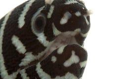 Anguilla di Moray della zebra Immagini Stock Libere da Diritti